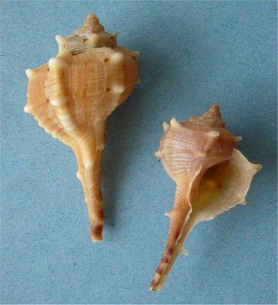 Shells of Bolinus Brandaris